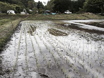 Rice5.jpg